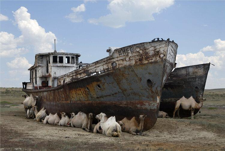 camellos echados junto a unos barcos abandonados en el desierto